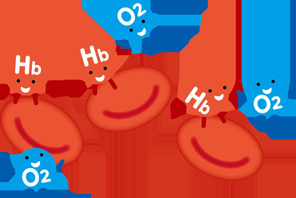 ヘモグロビンが酸素を運びます